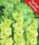 Gladiolus 'Green Star' - 10 Flower Bulbs