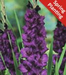 Gladioli Purple Flora 'Gladiolus' - 1 x Pack of 10 Corms