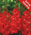 Gladiolus 'Traderhorn' - 10 Flower Bulbs