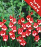 Gladiolus 'Madam de Paris' - 10 Flower Bulbs