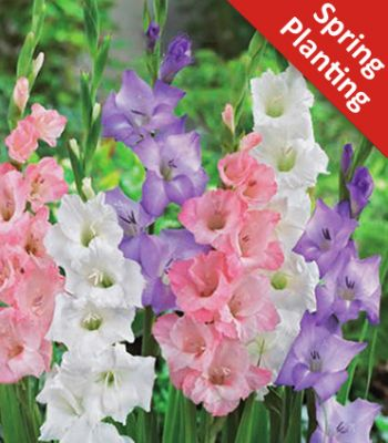Gladiolus Pastel Mix - 25 Flower Bulbs
