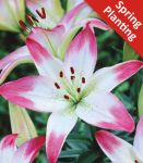 2 Lily 'Lollypop' - Lilium 'Lollypop' - Flower Bulbs