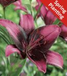 2 Lily 'Purple Eye' - Lilium 'Purple Eye' - Flower Bulbs