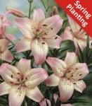 2 Lily 'Rosella's Dream' - Lilium 'Rosella's Dream' - Flower Bulbs