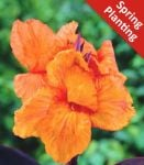 1 Canna Lily 'Wyoming' - Canna 'Wyoming' - Flower Bulb