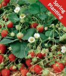 5 Strawberry Fragaria Ostara  Plants (Bare-root)