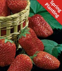 5 Strawberry Fragaria Tago  Plants (Bare-root)