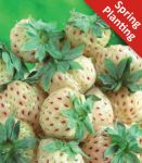 2 Pineberry Fragaria White  Plants (Bare-root)
