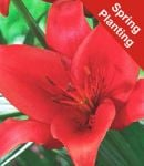 Lily 'Prunotto' - 2 Bulbs