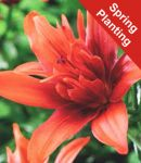 Lily 'Red Twin' - 1 Bulb