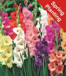 Gladiolus Mix - 25 Bulbs