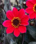 Dahlia 'Happy Days' Cherry Red - 1 Bulb