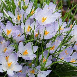 20 'Blue Pearl' Crocus Species Bulbs