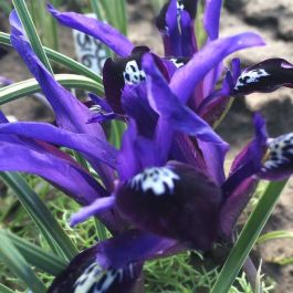 20 'Blue Note' Iris Reticulata Bulbs