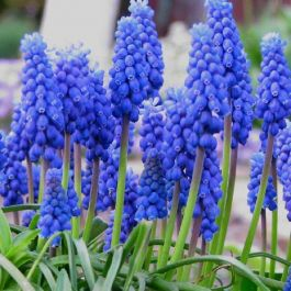 20 'Grape Hyacinth' Muscari Armeniacum Bulbs