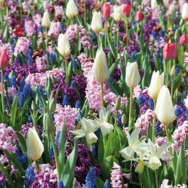 Scented Spring Garden Collection | 56 Flower Bulbs