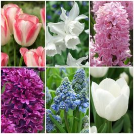 56 Flower Bulbs | Scented Spring Garden Collection