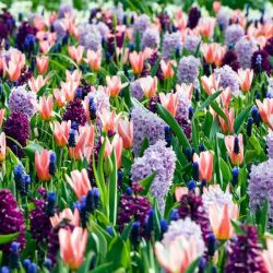Bold and Beautiful Collection | 55 Flower Bulbs | Tulip, Muscari & Anemone Mix