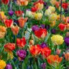 Vibrant Blooms Collection | 64 Flower Bulbs | Tulip & Muscari Mix