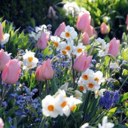 Candy Garden Collection | 60 Flower Bulbs | Daffodil, Tulip & Muscari Mix