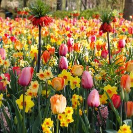 Sunshine and Shade Collection | 49 Flower Bulbs | Daffodil, Tulip & Fritillaria Mix