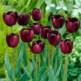 Tulip 'Late Queen of Night' | 10 Flower Bulbs