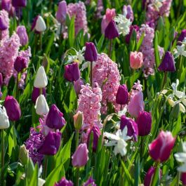 Pink and Purple Flowers Collection | 48 Flower Bulbs | Daffodil, Tulip & Hyacinth Mix