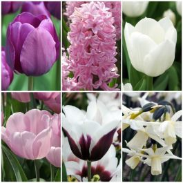 48 Flower Bulbs | Pink and Purple Flowers Collection | Daffodil, Tulip & Hyacinth Mix
