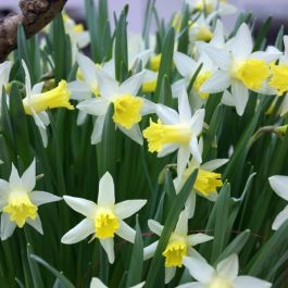Narcissus 'Topolino' | 10 Flower Bulbs