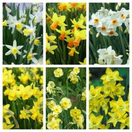 Dwarf Flower Bulbs for Borders and Containers | 60 Flower Bulbs | Daffodil Mix