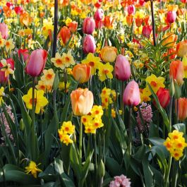 Bee Friendly Tulip & Narcissus Collection | 25 Flower Bulbs