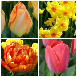 25 Flower Bulbs | Warm Colours and Bee Friendly Collection | Tulip & Narcissus Mix