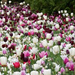 Bee Friendly Tulip Collection | 25 Flower Bulbs