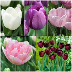 25 Flower Bulbs | Graceful Colours and Bee Friendly Collection | Tulip Mix