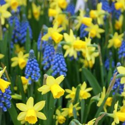 250 Flower Bulbs | Ultimate Spring Garden Collection | Daffodil & Muscari Mix