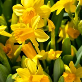 Cyclamineus Daffodil | Narcissus Cyclamineous 'Tete a Tete' | 10 Flower Bulbs