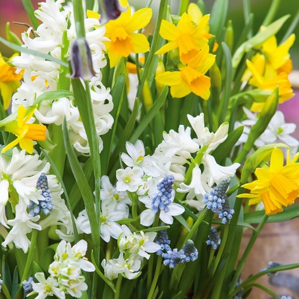 Spring Colours Collection | 94 Flower Bulbs | Hyacinth, Muscari, Iris, Daffodil, Puschkinia Mix
