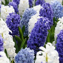 Blue and White Hyacinth Collection | 9 Flower Bulbs