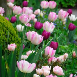 Pretty in Pink Tulip Collection | 15 Flower Bulbs