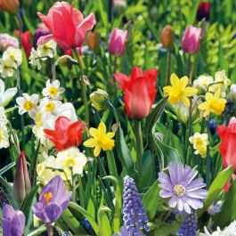 Enchanting Wild Garden Collection | 40 Flower Bulbs | Tulip, Daffodil, Crocus & Anemone Mix