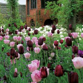 Cottage Garden Collection | 35 Flower Bulbs | Tulip Mix