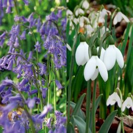 Snowdrop and Bluebell Collection | 40 Flower Bulbs