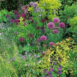 Architectural Allium Collection | 20 Flower Bulbs