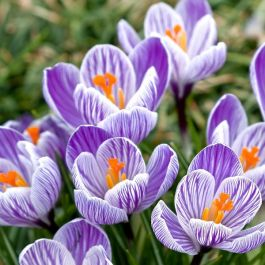 120 Flower Bulbs | The Onset of Spring Collection | Crocus Mix