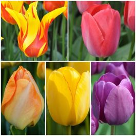 Bouquet Friendly Tulip Collection | 56 Flower Bulbs