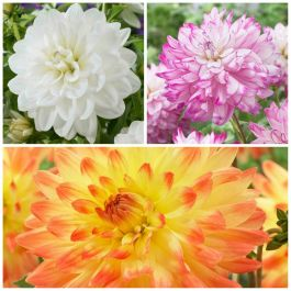 Decorative Dahlia Collection | 9 Tubers