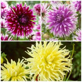 'Spider' Dahlia Collection | 9 Tubers