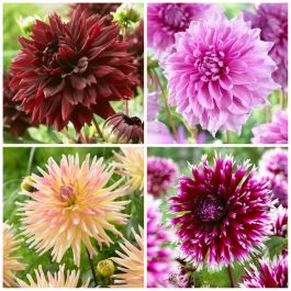 The Definitive Dahlia Collection | 12 Tubers