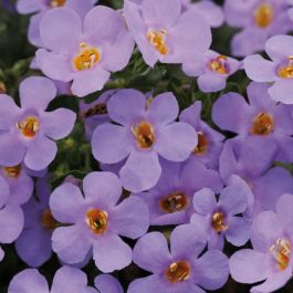 Bacopa Abunda 'Colossal Blue' | Pack of 5 Plug Plants