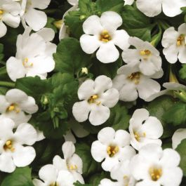 Bacopa Abunda 'Colossol White' | Pack of 5 Plug Plants
